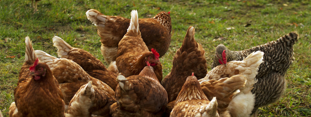 Hühner im Auslauf